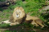 picture of glorious  - Male lion in the grass looking glorious - JPG