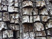 picture of juniper-tree  - Close up of bark on an Alligator Juniper tree - JPG