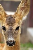 pic of bambi  - portrait of a young roe deer calf  - JPG