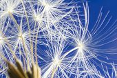 image of wind up clock  - Close up of dandelion head clock seeds - JPG