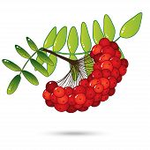 foto of rowan berry  - Bunch of red rowan berries with leaves isolated on white - JPG