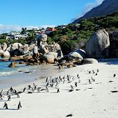 "stock photo of south-western  - African penguins (once known as ""jackass penguins"") colony on Boulders Beach Nature Reserve near Cape Town, Western Cape, South Africa. Square image