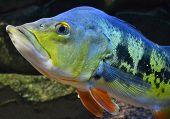 foto of grouper  - Cichla grouper fish in the aquarium wildlife - JPG