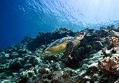 image of endangered species  - hawksbill turtle - JPG