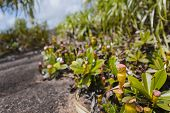 foto of nepenthes  - Pitcher Plants at Mount Copolia in Mahe Seychelles - JPG