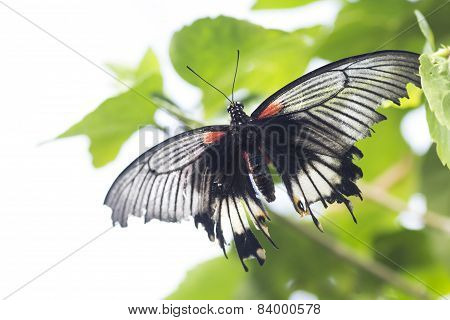 Papilio momnon Butterfly