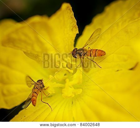 Hoverflies Collecting Pollen