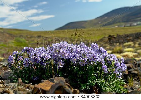 Flowers Cyanosis (polemonium Racemosum)  Of The Tundra In Chukotka.