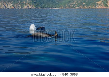 Dolphins In The Gulf Of Porto