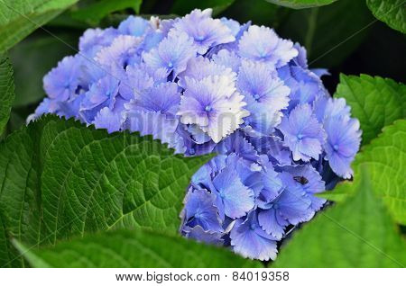 Flowers-flower-hydragea-wedding-flower-purple