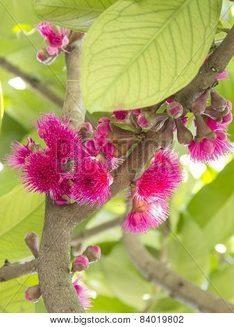 Blossom Pink Rose Apple Flower In Branch