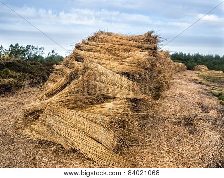 Reeds For Thatching Sampled In Bundles