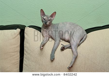Naked Cat On Sofa