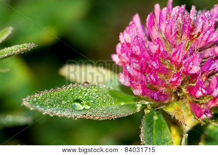 Pink Flower Of A Clover On A Meadow