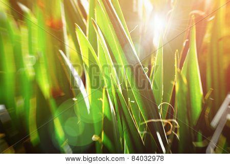 Vintage Botanic Background. Sun Glowing Through Yucca Leaves