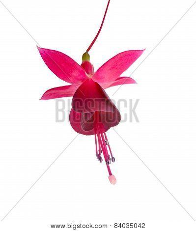 Dark Cherry Fuchsia Flower Is Isolated On White Background