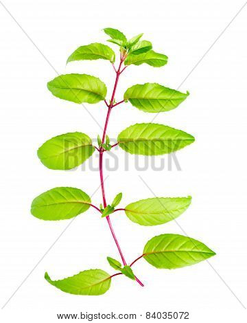 Green Branch Of Fuchsia With Long Leafs Is Isolated On White Background