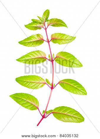 Green Branch Of Fuchsia With Long Leaves Back Turned To Camera Is Isolated On White Background