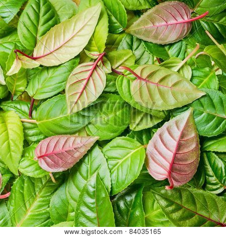 Green And Red Leaves Of Fuchsia As Background, Closeup