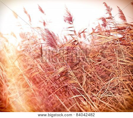 Dry reed (cane)