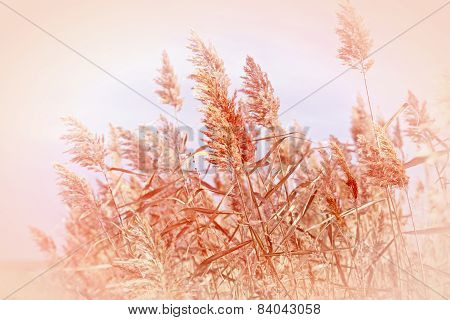 Beautiful nature - reed (cane)