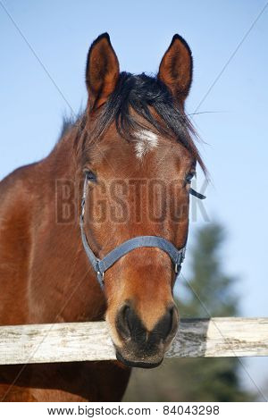 .close-up Of A Bay Horse In Winter Corral