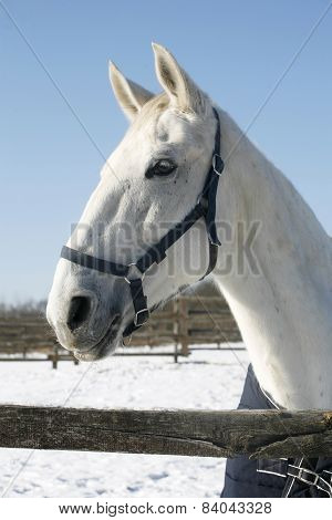 Beautiful Purebred Horse Posing In Winter Paddock Under Blue Sky