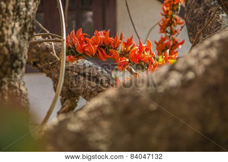 Spathodea Flowers,african Tulip Tree, Fire Bell, Fouain Tree, Flame Of The Forest.