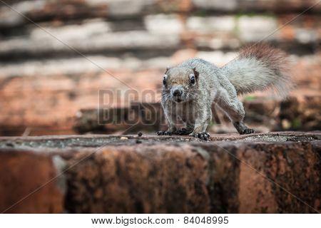 Closeup Image Of A Eastern Grey Squirrel (sciurus Carolinensis)