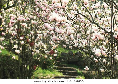 Lotus-flowered Magnolia,Large-flowered Magnolia,Southern Magnolia,Loblolly Magnolia