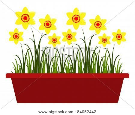 Daffodils In Planter