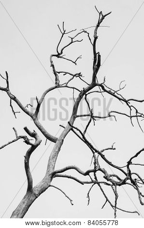 Bw Of  A Dry Old Dead Tree