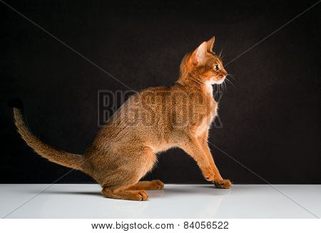 Ruddy abyssinian cat on black brown background