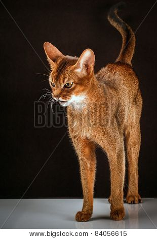 angry abyssinian cat on black brown background