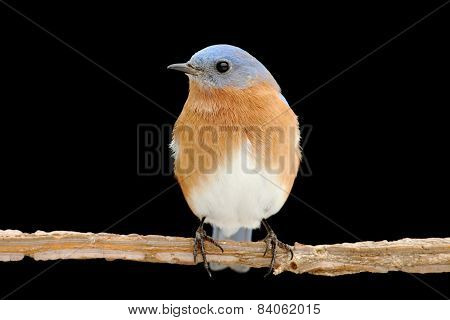 Male Eastern Bluebird On Black