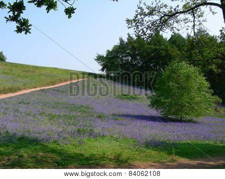Field of Lilacs