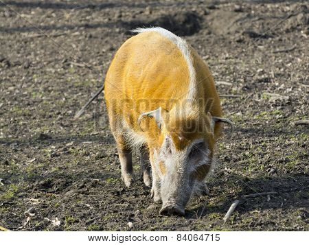 Red River Hog (potamochoerus Porcus)