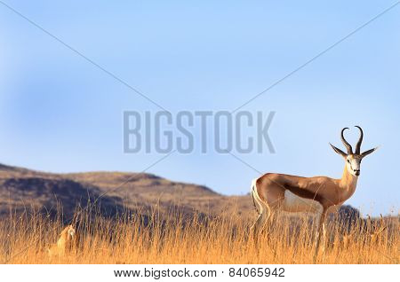 Isolated Springbok in palmwag National Park