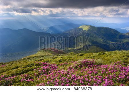 Rhododendron In The Carpathians