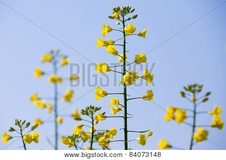 Rapeseed Plants