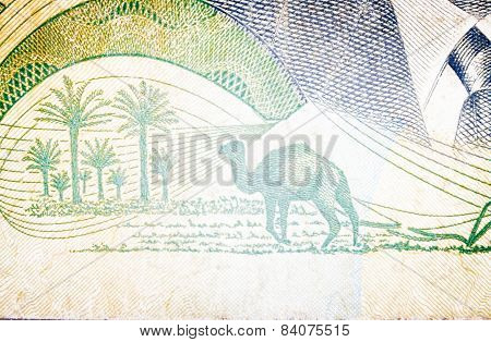 Dromedary In Old  Tunisian Banknote