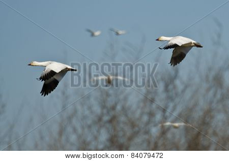 Pair Of Snow Geese Flying Across The Marsh