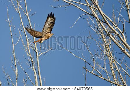 Red-tail Hawk Flying Up To Its Nest