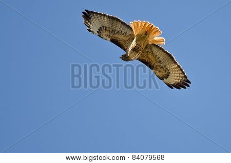 Red-tail Hawk Hunting On The Wing