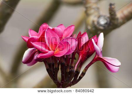 Pink Frangipani Tropical Spa Flower