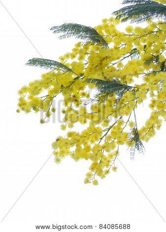 Yellow Fluffy Mimosa