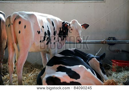 Cows In The Barn Of The Farm In Animal Husbandry