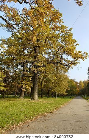 Oak With Yellow Leaves