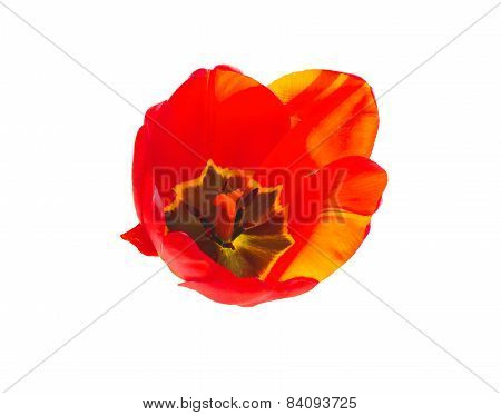Red Tulip On A White Background, Backlit
