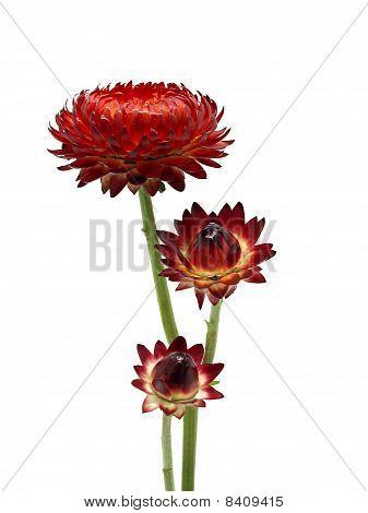 Helichrysum flower
